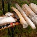 entnommene Holzproben - damit sie nicht austrocknen, werden sie unmittelbar nach der Entnahme aus dem Wasser in Folie gewickelt